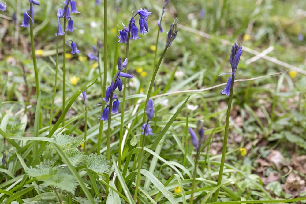 Blue bells flowering in Springtime on a forest floor