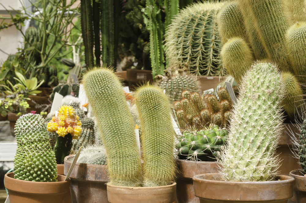 Small potted cacti near larger cacti in greenhouse